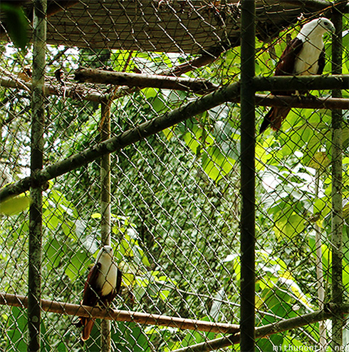 Brahmin kites Philippine Eagle Center