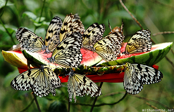 Feeding butterfly watermelon Davao Philippines