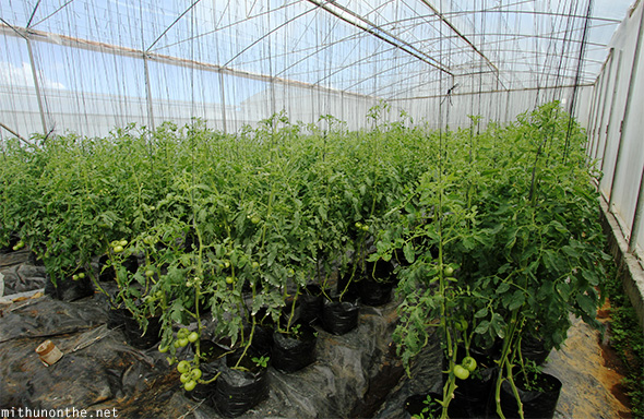 Greenhouse tomatoes Eden Nature Park Davao