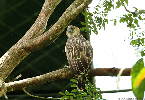 Philippine eagle tree Davao