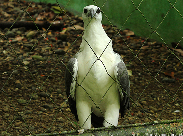 White bellied sea eagle Davao