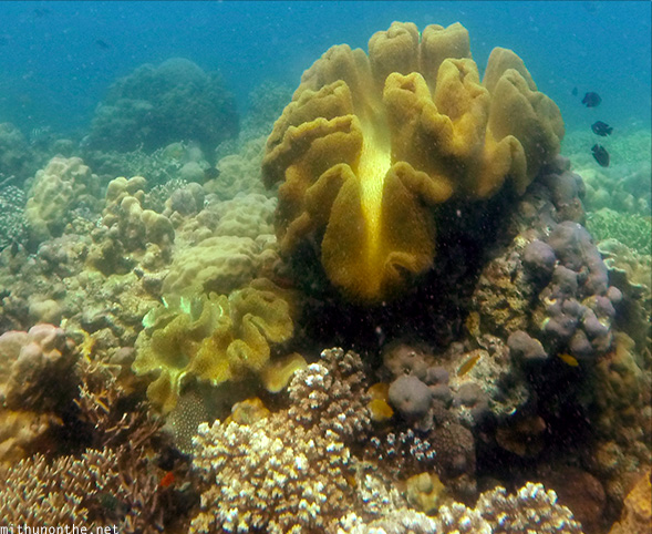 Clam shaped coral Davao Philippines-sea