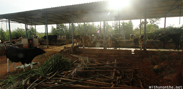 Cow shed dairy farm Bangalore