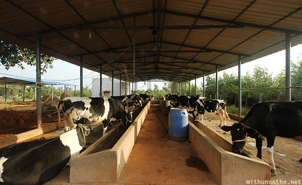 Cows feeding dairy farm Bangalore