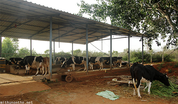 Cows shed dairy farm Bangalore