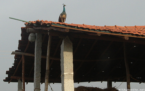 Peacock on roof