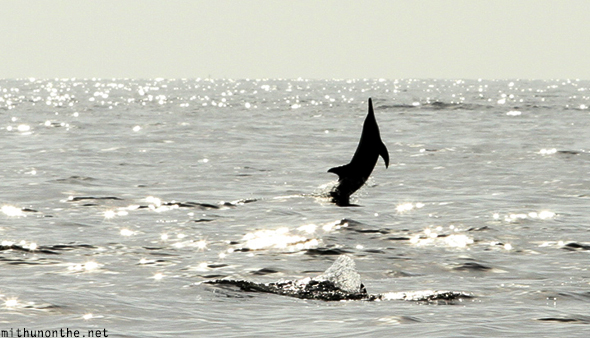 Dolphin jumping out of sea Oman