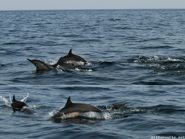 Dolphins Muscat sea
