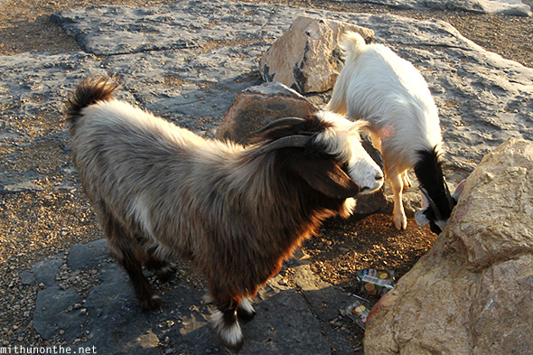 Mountain goats Oman