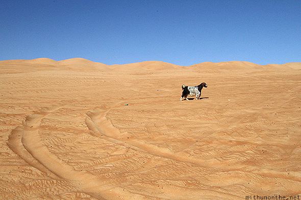 Goat walking Sharqiya desert Oman