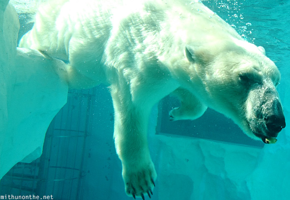 Polar bear under water Ueno Zoo