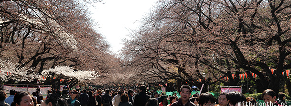 Ueno park sakura half bloom panoram
