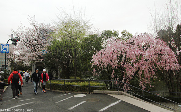 Pink cherry blossom tree Tokyo streets