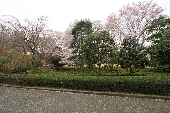 Sakura tree petals fallen down