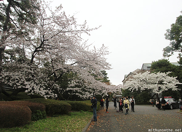 White sakura tree Imperial Garden Japan