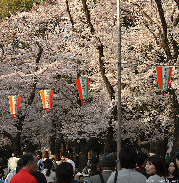 Sakura in full bloom Ueno park