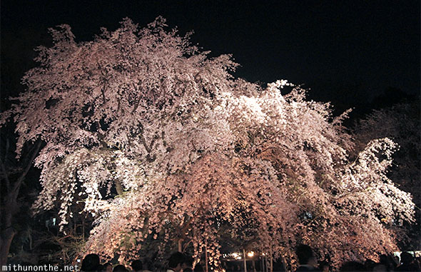 Weeping cherry blossom tree Japan