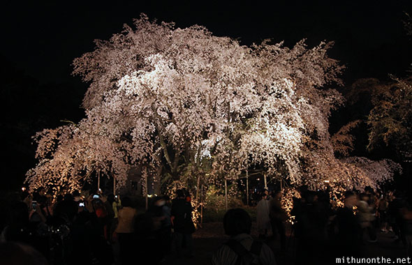 Weeping cherry tree at night Tokyo